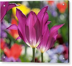 Radiant Purple Tulips Acrylic Print by Rona Black