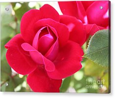 Radiant Red Rosebud Acrylic Print by French Toast