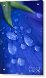 Raindrop Pansy Acrylic Print by Anne Gilbert