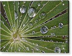 Raindrops On Lupin Leaf Acrylic Print by Heiko Koehrer-Wagner