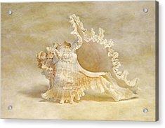 Ram's Murex Acrylic Print by Cindi Ressler