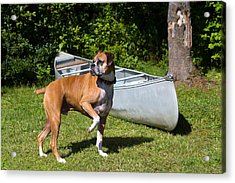 Ranger The Boxer Acrylic Print by Stephanie McDowell