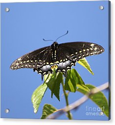 Ready For Take-off Acrylic Print by French Toast