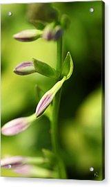 Ready To Bloom Hostas Acrylic Print by Karol Livote