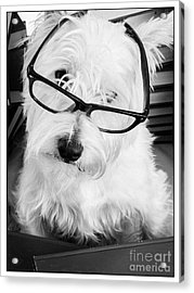 Really Portait Of A Westie Wearing Glasses Acrylic Print by Edward Fielding