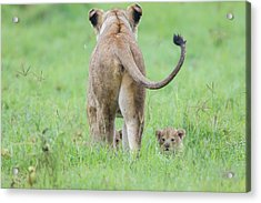 Rear View Of Lioness Facing Away Acrylic Print by James Heupel