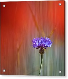Red And Blue Acrylic Print by Heiko Koehrer-Wagner