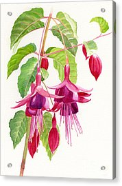 Red And Purple Fuchsias Acrylic Print by Sharon Freeman