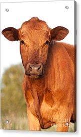 Red Angus Cow Acrylic Print by Cindy Singleton