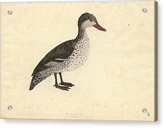 Red-billed Duck Acrylic Print by Natural History Museum, London