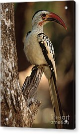 Red-billed Hornbill Acrylic Print by Art Wolfe
