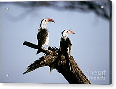 Red-billed Hornbills Acrylic Print by Art Wolfe