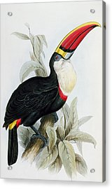 Red-billed Toucan Acrylic Print by Edward Lear