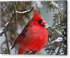 Red Cardinal In Winter Acrylic Print by Dan Sproul