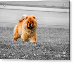 Red Chow Acrylic Print by Jai Johnson