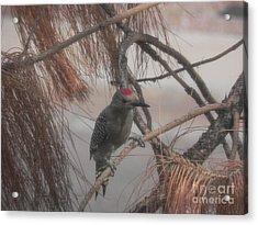Red Crested Wood Pecker In Az Acrylic Print by Chrisann Ellis