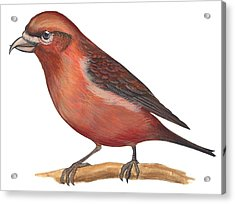 Red Crossbill Acrylic Print by Anonymous