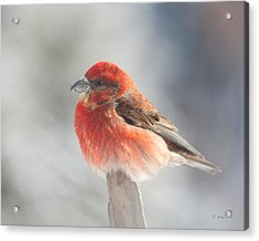 Red Crossbill Acrylic Print by Gerry Sibell