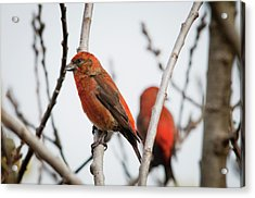 Red Crossbills Perch In A Willow Acrylic Print by Robert L. Potts