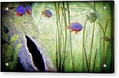 Red Eared Bluegills Acrylic Print by Rosemarie E Seppala