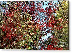 Red Fall Foliage Acrylic Print by Tina M Wenger