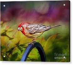 Red Finch Acrylic Print by Darren Fisher