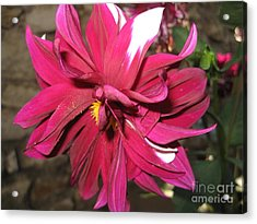Red Flower In Bloom Acrylic Print by HEVi FineArt