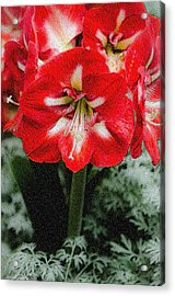 Red Flower With Starburst Acrylic Print by Crystal Wightman