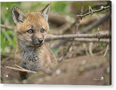 Red Fox Kit Acrylic Print by Everet Regal