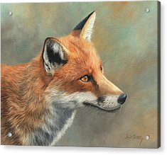 Red Fox Portrait Acrylic Print by David Stribbling