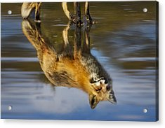 Red Fox Reflection Acrylic Print by Susan Candelario