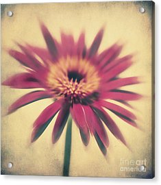 Red Gerbera Acrylic Print by Angela Doelling AD DESIGN Photo and PhotoArt