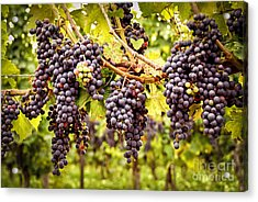 Red Grapes In Vineyard Acrylic Print by Elena Elisseeva