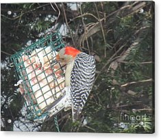 Red Headed Woodpecker  At Suet Feeder Acrylic Print by Anthony Morretta
