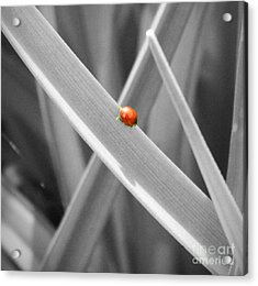 Red Ladybird Acrylic Print by Chalet Roome-Rigdon