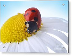 Red Ladybug Acrylic Print by Boon Mee