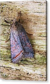 Red Line Quaker Moth Acrylic Print by David Aubrey