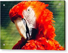 Red Macaw Closeup Acrylic Print by Pati Photography