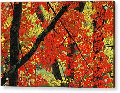 Red Maple Close-up, Sebago Lake State Acrylic Print by Michel Hersen