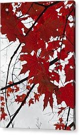 Red Maple Leaves Acrylic Print by Ana V  Ramirez