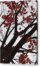 Red Maple Tree Acrylic Print by Ana V  Ramirez
