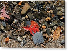Red Oak Leaf Acrylic Print by Michael Saunders