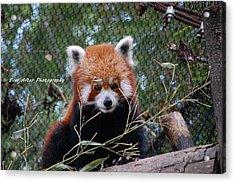 Red Panda Acrylic Print by Jade Thomas