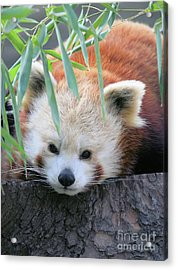 Red Panda Acrylic Print by Karol Livote