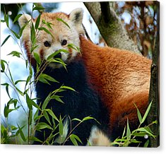 Red Panda Acrylic Print by Trever Miller