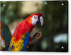 Red Parrot  Acrylic Print by Garry Gay
