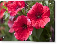 Red Petunias Acrylic Print by Terry Horstman