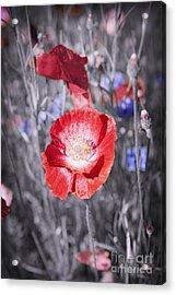 Red Poppy Flower Acrylic Print by Elena Elisseeva