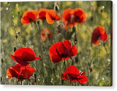 Red Poppy _papaver Rhoeas__ Upper Rhine Acrylic Print by Carl Bruemmer