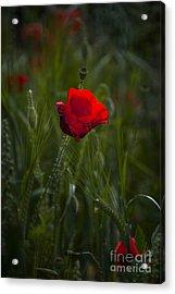 Red Poppy Acrylic Print by Svetlana Sewell